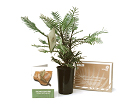 Wollemi Pine in Schools Kit