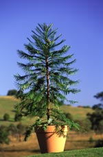 A Wollemi Pine in cultivation