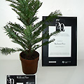 The                Wollemi Pine Awarded Most Beautiful Export